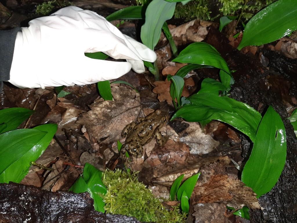 Eine kleine Erdkröte auf Wanderschaft. Foto: Tina Frank