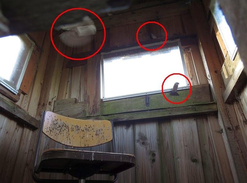 In den Innenraum geschlüpft, finden sie die kleine Lücke nach draußen nicht wieder, sondern fliegen immer wieder ins Licht und damit an die Fensterscheiben.