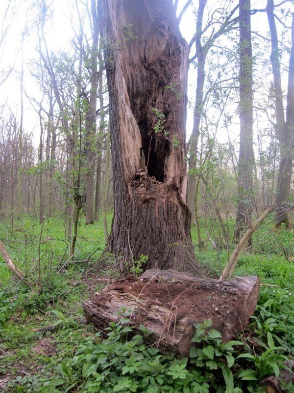 Im hohlen Stamm dieser Stieleiche in Lützschena wohnen Fledermäuse.