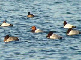 Oft schwimmen hunderte Enten, darunter die Tafelenten (Aythya ferina) als Wintergäste auf dem Kulkwitzer See. Fotos: NABU Leipzig