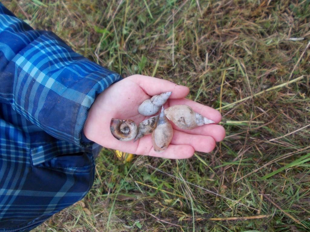 Schneckengehäuse vom Ufer einer Lehmlache.