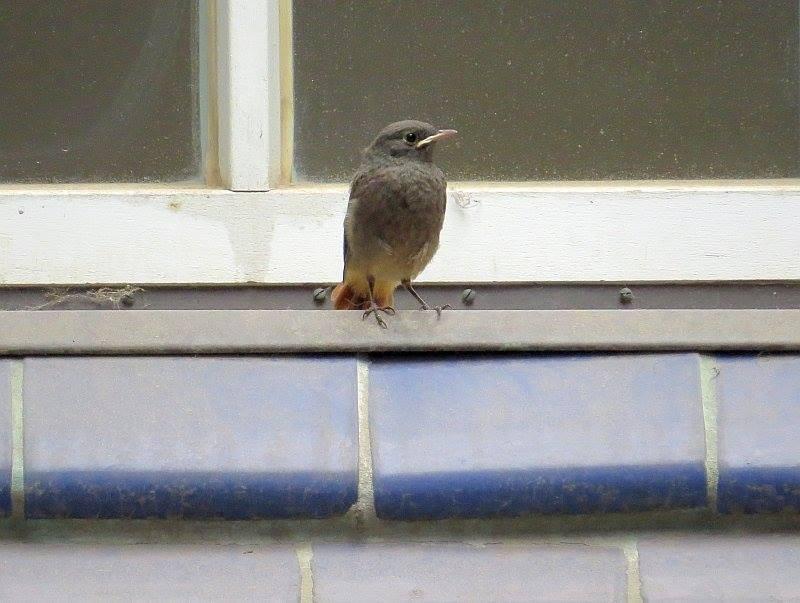 Einer von 3 beobachteten Jungvögeln, die im Bereich des Erdgeschoss regelmäßig gefüttert wurden.