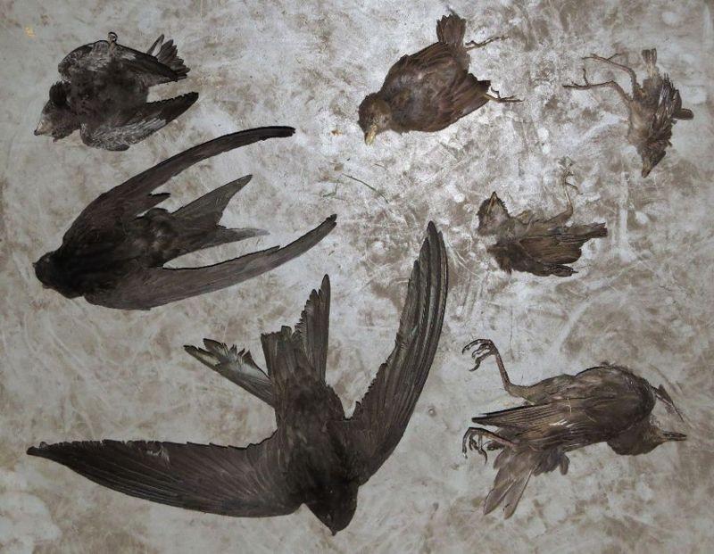 <p>Vögel, die sich durch defekte Nistkästen in den Dachboden verirrt hatten und dadurch ums Leben kamen. Durch die Reparatur der Nistkästen werden solche Verluste in Zukunft minimiert.</p>Foto: Karsten Peterlein