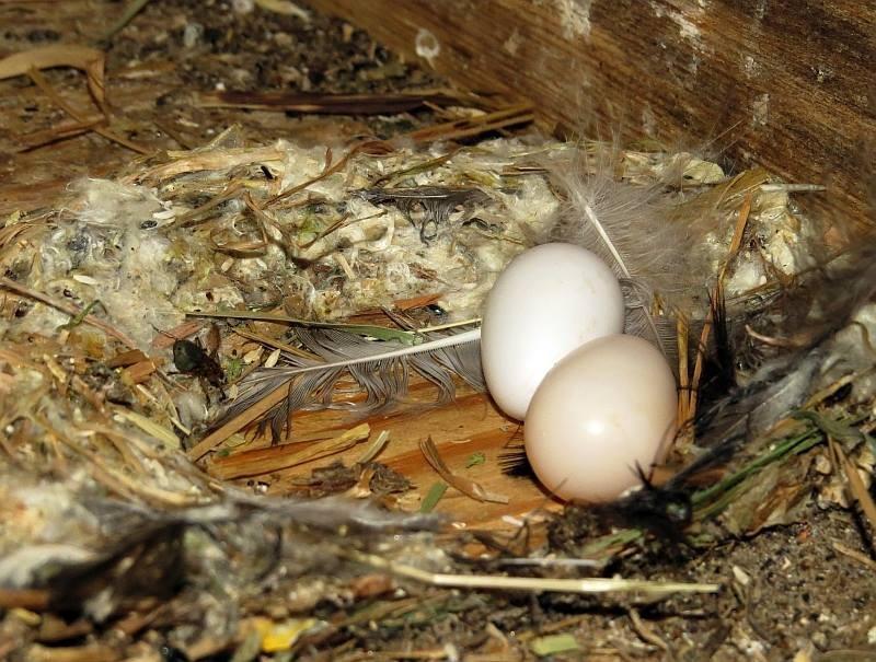 2 Mauerseglereier. In diesem Jahr gab es viele Gelege mit 3 Eiern