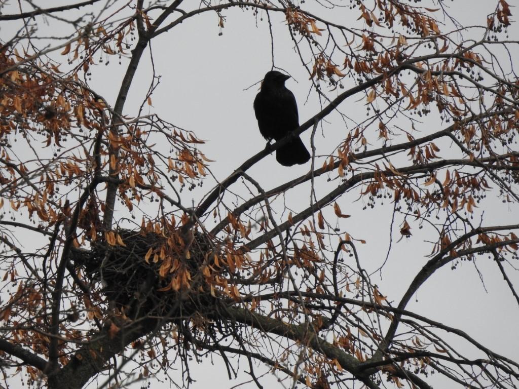 Nester sind in den Baumkronen gut versteckt, im Winter kann man sie leichter sehen.</p>Foto: Beatrice Jeschke