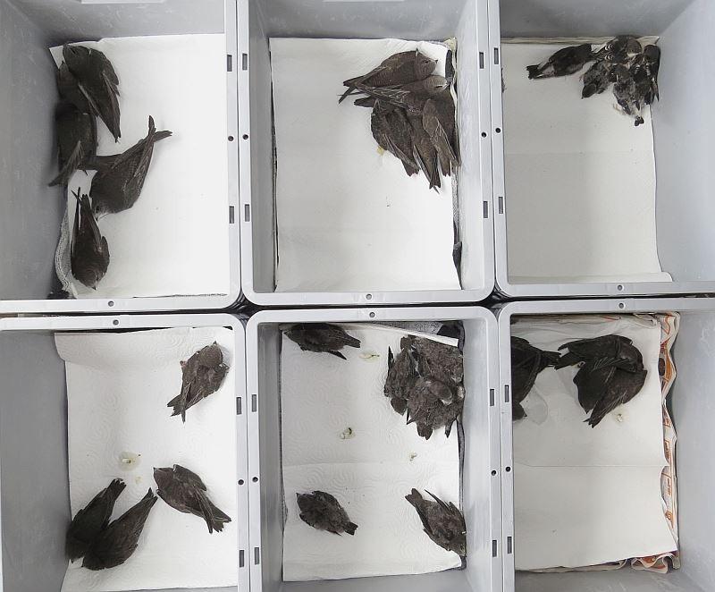Hochbetrieb und Füttern im Akkord, neben den Mauersgelern sind auch 9 Mehlschwalben aus ihren Nestern gestürzt.
