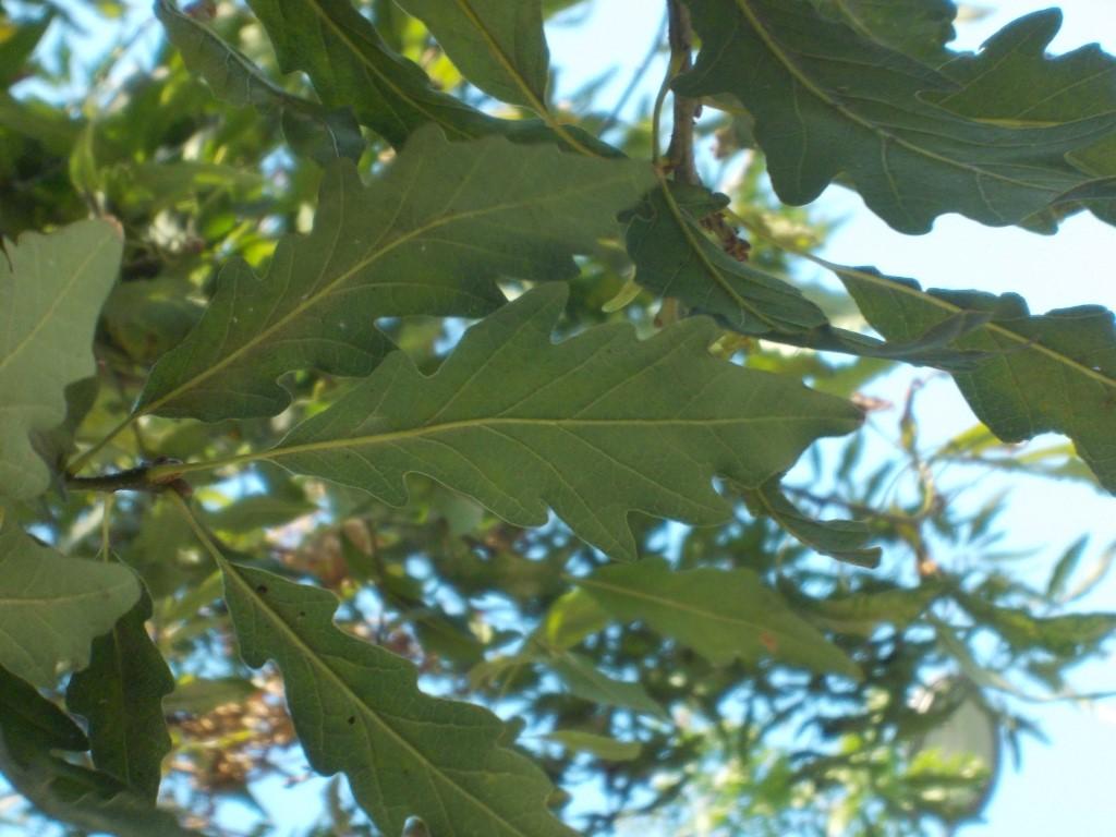 Laubblätter der Mispelblättrigen Traubeneiche.