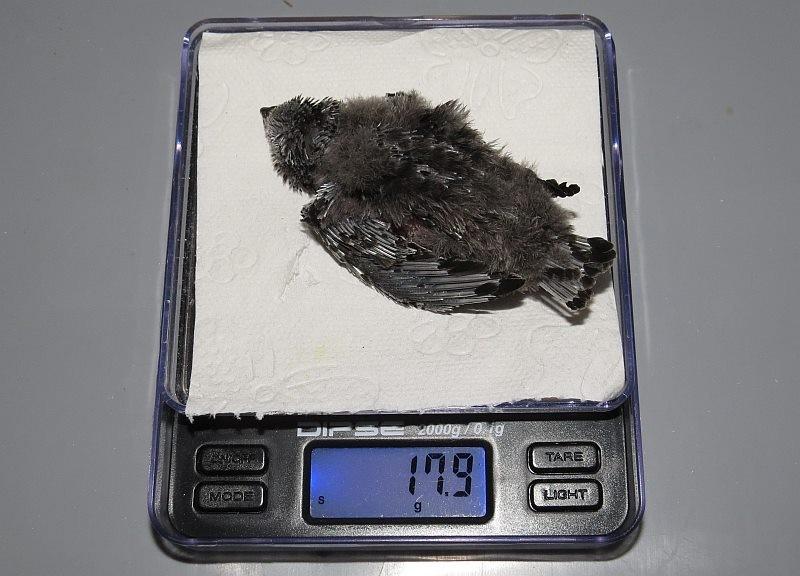 Mauersegler mit diesem Gewicht sind noch ein Fall für Betreuung durch Menschen. Er hat zu lange gehungert und braucht künstliche Nestwärme.