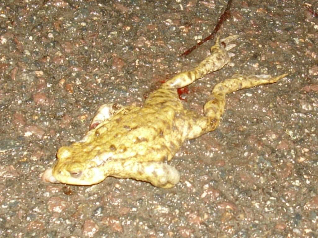 Viele wandernde Amphibien fallen leider dem Verkehr zum Opfer. </p>Foto: Carola Bodsch