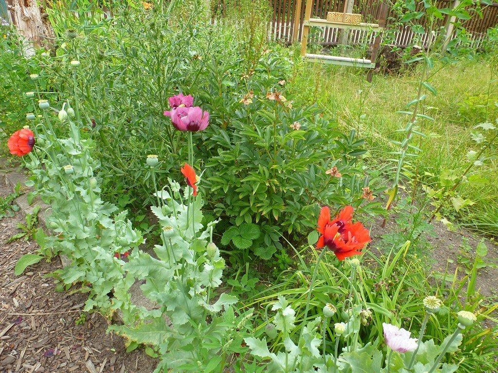 Verschiedene Mohnsorten blühen im NAJU-Garten.