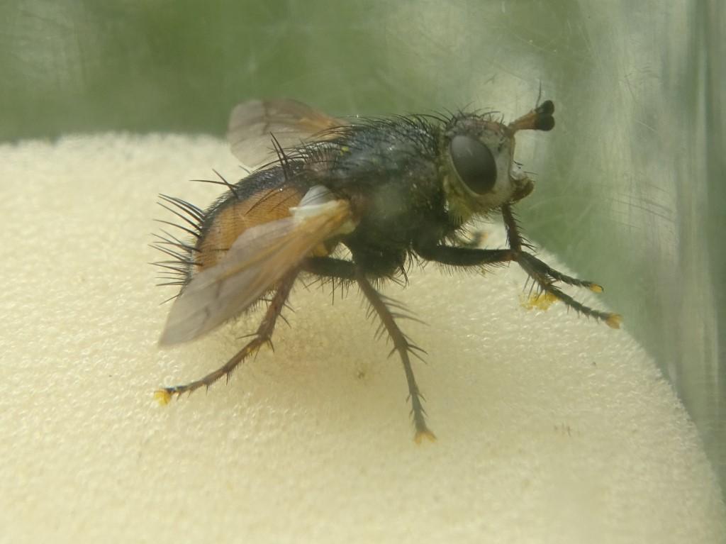Igel-Fliege