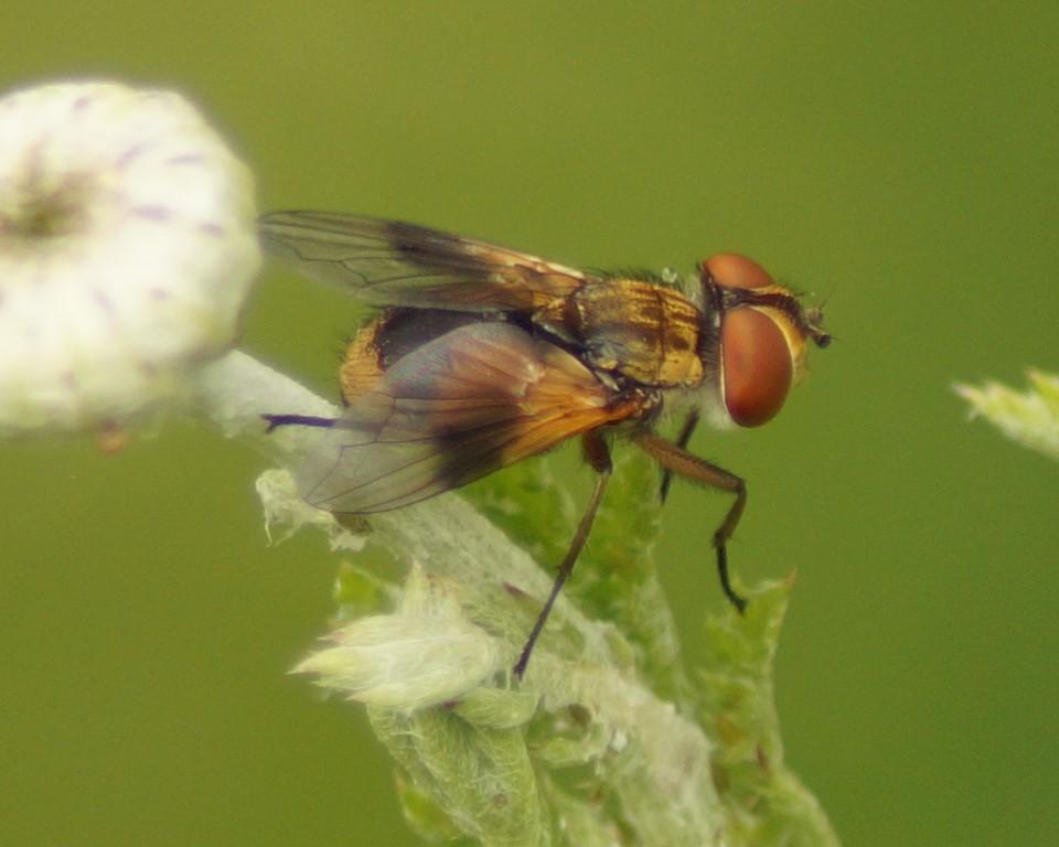 unbestimmte Fliege