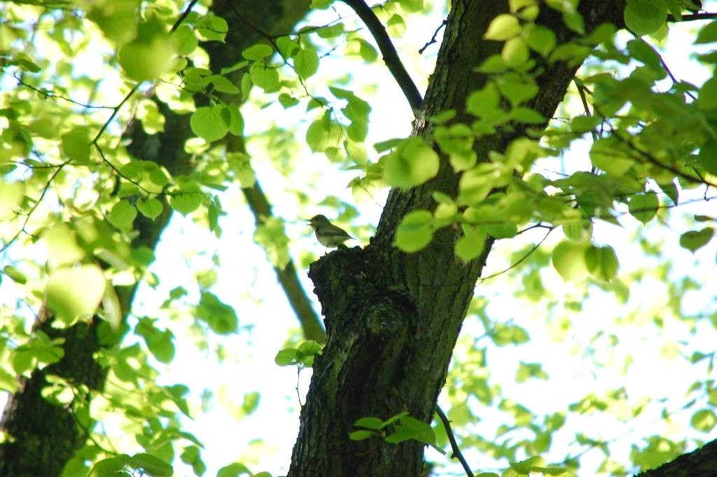 Ist selten zu hören oder zu sehen: der Grauschnäpper