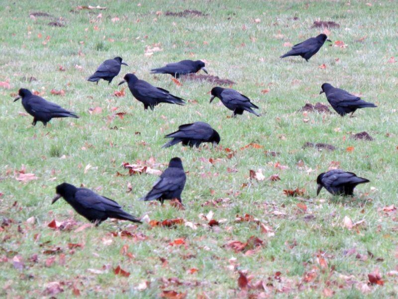 Die Saatkrähe ist im Leipziger Stadtgebiet die häufigste Wintervogelart. Im Clarapark wurden 600 gezählt, das ist aber nur ein kleiner Teil dieser Vögel, die aus Osteuropa kommen und bei uns überwintern. Foto: Karsten Peterlein