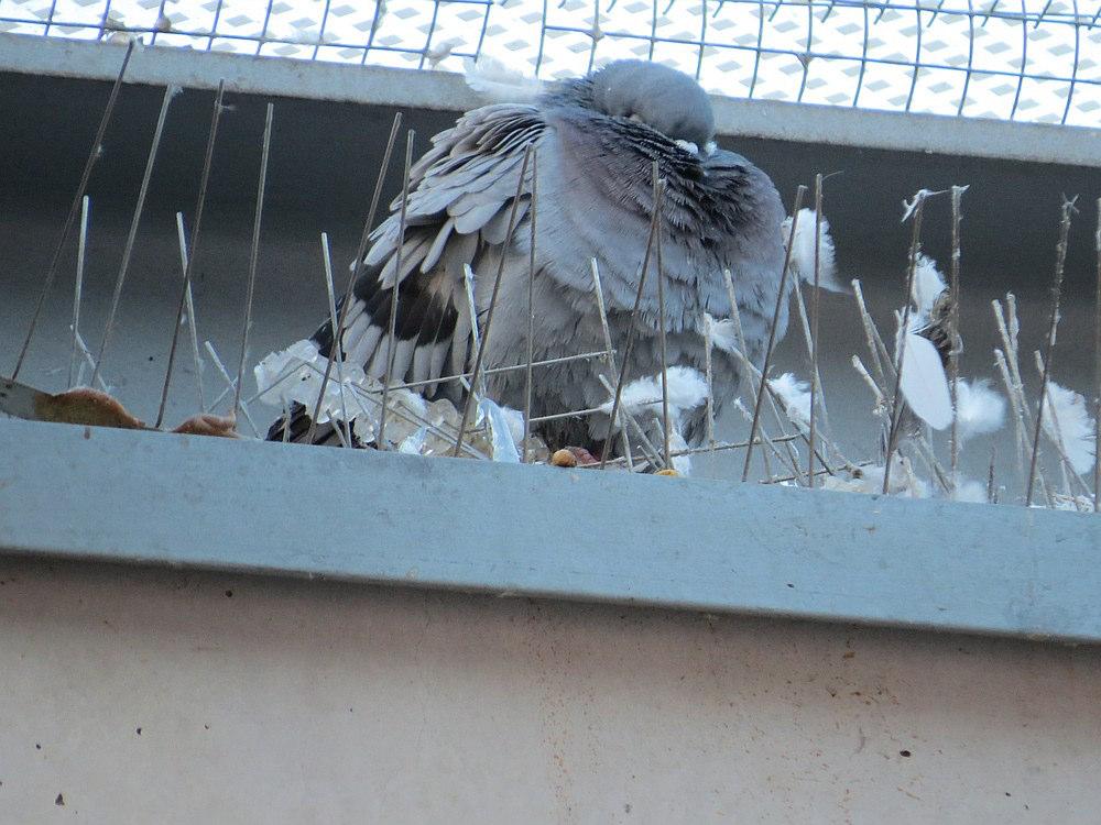 Die vielen Federn zeigen welche erheblichen Gefiederschäden die Tauben nach dem Kontakt aufweisen. In der kalten Jahreszeit ist ein intaktes Gefieder nötig um die Körperwärme zu halten.