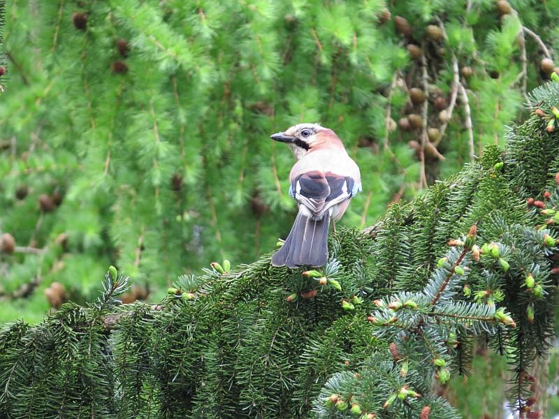 Während bei vielen Arten die Bestände abnehmen, wird der Eichelhäher bei der Stunde der Gartenvögel immer häufiger beobachtet.