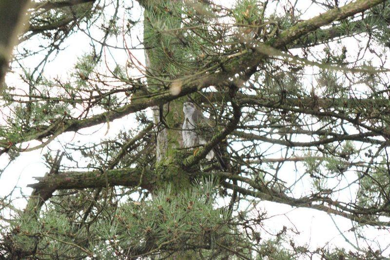Für besonderes Aufsehen sorgte ein Habicht, der zunächst bei der Jagd und später in einer Baumkrone gesichtet wurde.