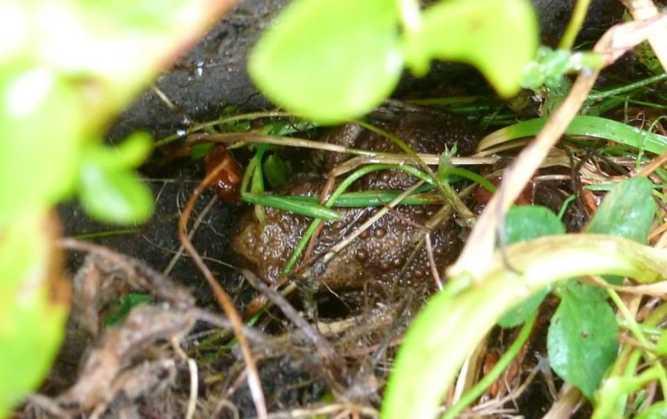 Eine Erdkröte im NAJU-Garten.
