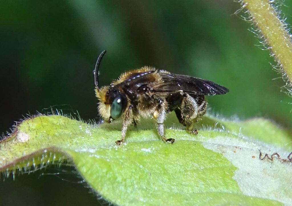 Wald-Schenkelbiene