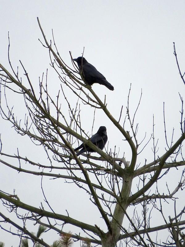 Zu den insgesamt 29 beobachteten Vögeln gehörten auch diese beiden Rabenkrähen.