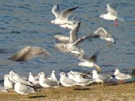 Im Winter sammeln sich am Kulkwitzer See größere Schwärme von Lachmöwen (Larus ridibundus) mit vereinzelten Sturmmöwen (Larus canus) dazwischen.