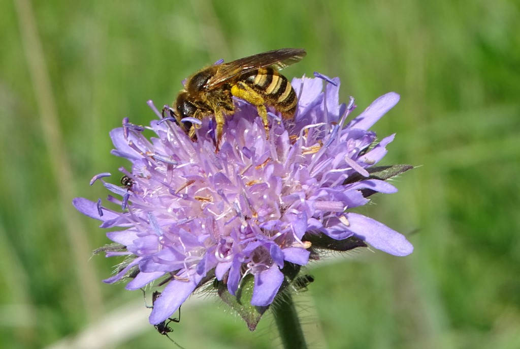 Gelbbindige Furchenbiene