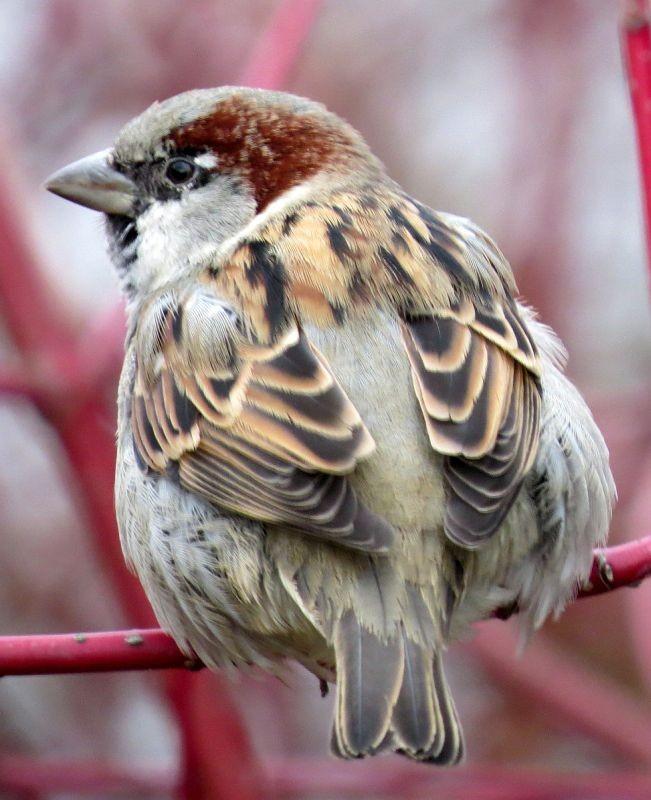 Bei der Stunde der Wintervögel im Clara-Zetkin-Park wurden 45 Haussperlinge gezählt, die in einem großen Trupp gut getarnt im Gesträuch saßen. Foto: Karsten Peterlein