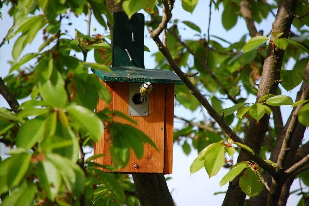 Die Blaumeisen sind im Minutentakt mit der Fütterung ihrer Jungvögel beschäftigt.