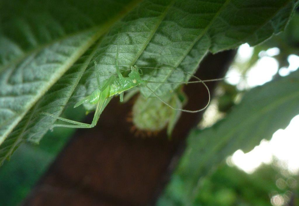 Eine weibliche Eichenschrecke sitzt unterm Himbeerblatt und putzt sich die Fühler.