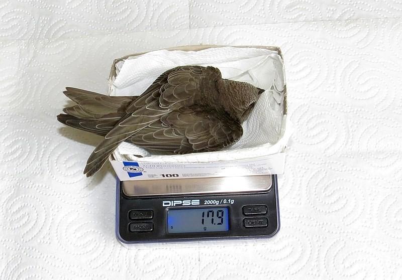 Junger Mauersegler mit lebensbedrohlichen 18 Gramm.