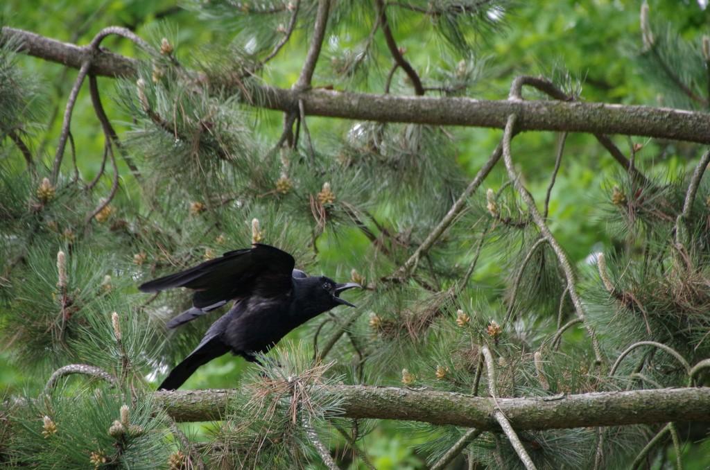Auch die Rabenkrähe gehört zu den Singvögeln, was dieser Vogel offenbar beweisen wollte.