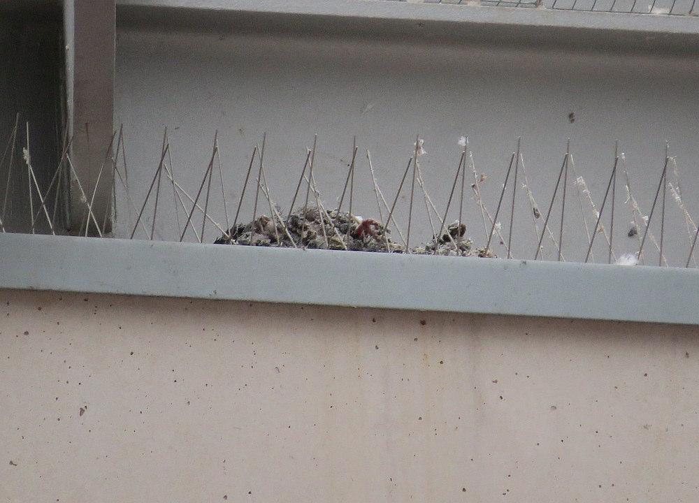 Diese Taube hat den Überlebenskampf verloren.