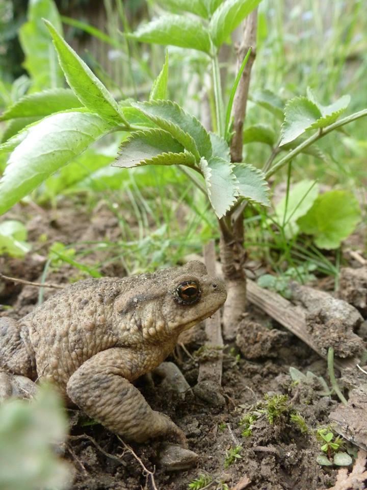 Eine Kröte verbringt ihren Sommerurlaub in unserem Garten und sucht Schutz unter einer kleinen zarten Holunderpflanze der erleb-bar.