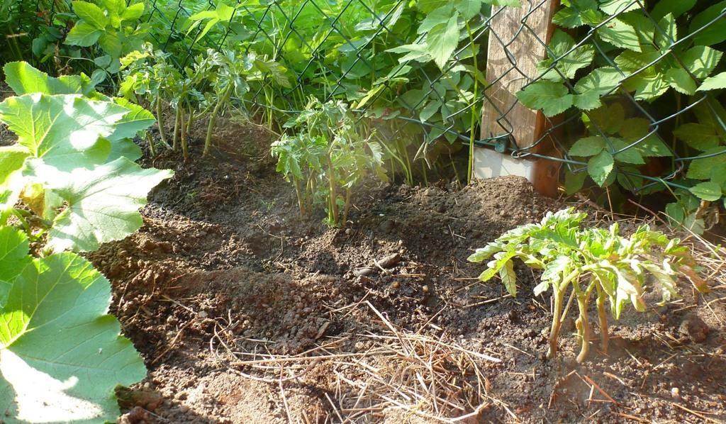 Tomatenpflanzen wurden ins Beet gepflanzt.