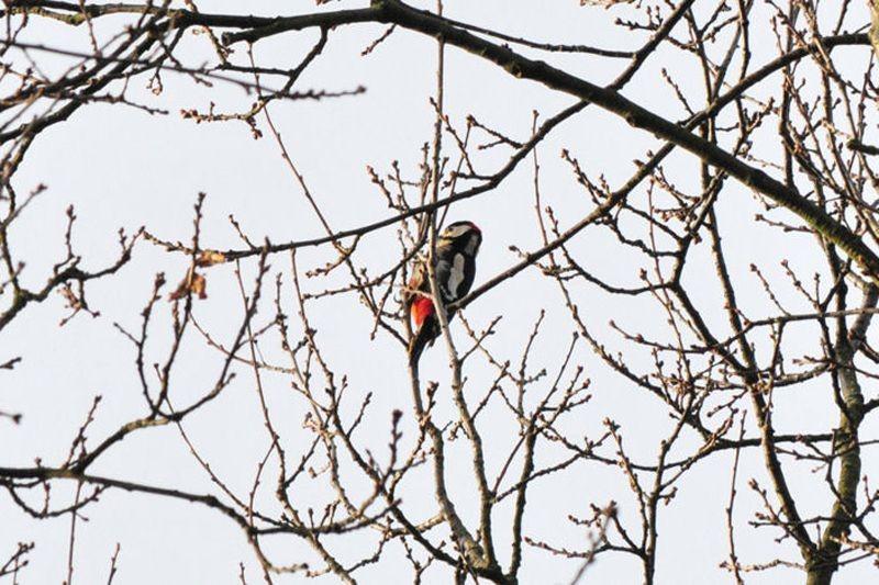 Besonders nach dem Grünspecht haben die Vogelfreunde gesucht, da er 2014 Vogel des Jahres ist. Er ließ sich nicht sehen, dafür konnte man aber Buntspechte entdecken.
