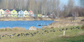 Blessrallen weiden am Strand des Kulkwitzer Sees.