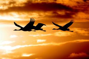 Fliegende Kraniche. Foto: NABU/Thomas Munk