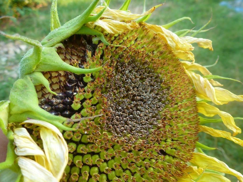 Damit die Vögel im Winter was vom Sommer haben, wurde diese Sonnenblume abgenommen.