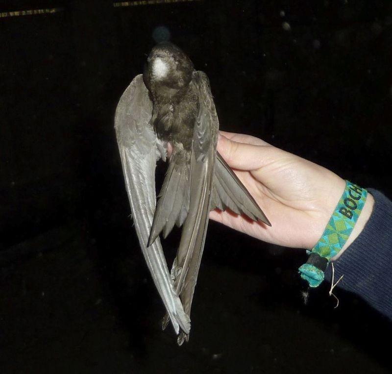 <p>Ein toter Mauersegler, der auf einem Dachboden gefunden wurde.</p>Foto: Karsten Peterlein