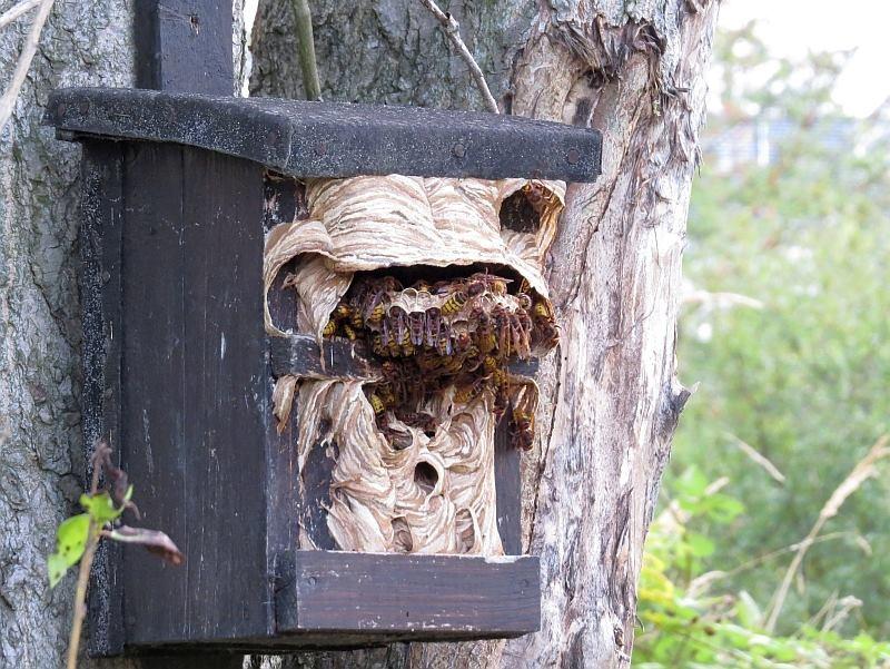 Diesen Nistkasten besiedeln die Hornissen schon das vierte Jahr in Folge. Zur Brutzeit ist er aber der Brutort für die Wendehälse. Die Vögel picken das alte Nistmaterial einfach raus und reinigen sich den Kasten selbst.