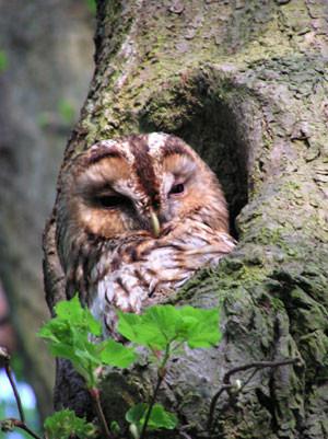 Zu den nachtaktiven Vögeln gehört in Leipzig auch der Waldkauz. Er nutzt gerne Höhlen in alten Bäumen . Der NABU setzt sich daher für den Erhalt von Höhlenbäumen ein und erfasst diesen Baumbestand mit freiwilligen Helfern. Foto: NABU/Tim Mattern