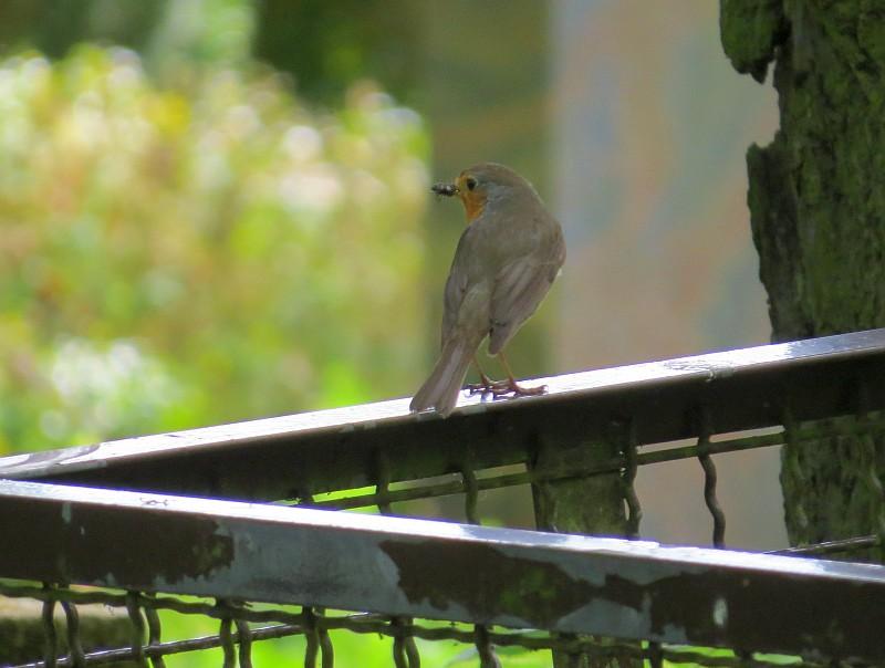 Das Rotkehlchen war gut zu beobachten, ließ naber auch seinen wunderbar zarten Gesang hören.