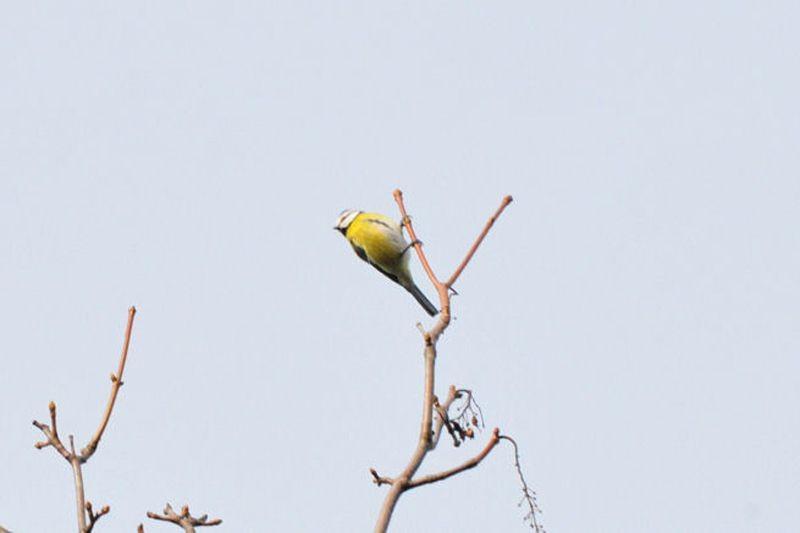 Auch die Blaumeise, die etwas kleiner ist als die Kohlmeise, gehört zu den häufigen Wintervogelarten.