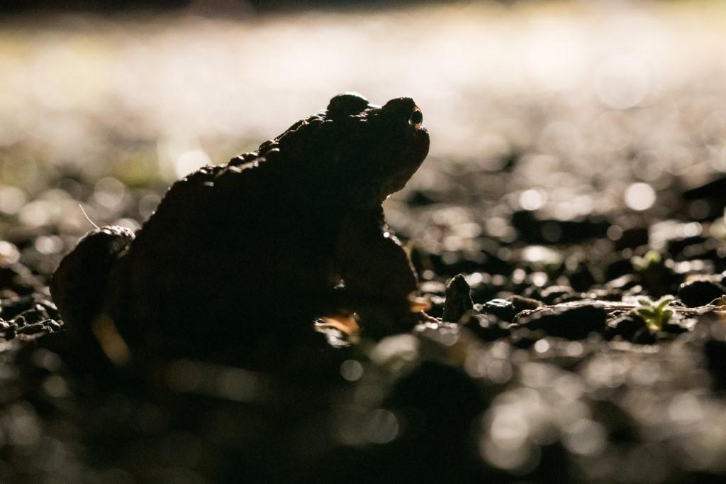 Eine Erdkröte im Scheinwerferlicht. Straßenverkehr ist eine tödliche Bedrohung für die wandernden Amphibien.</p>Foto: Eckart Wiegräbe