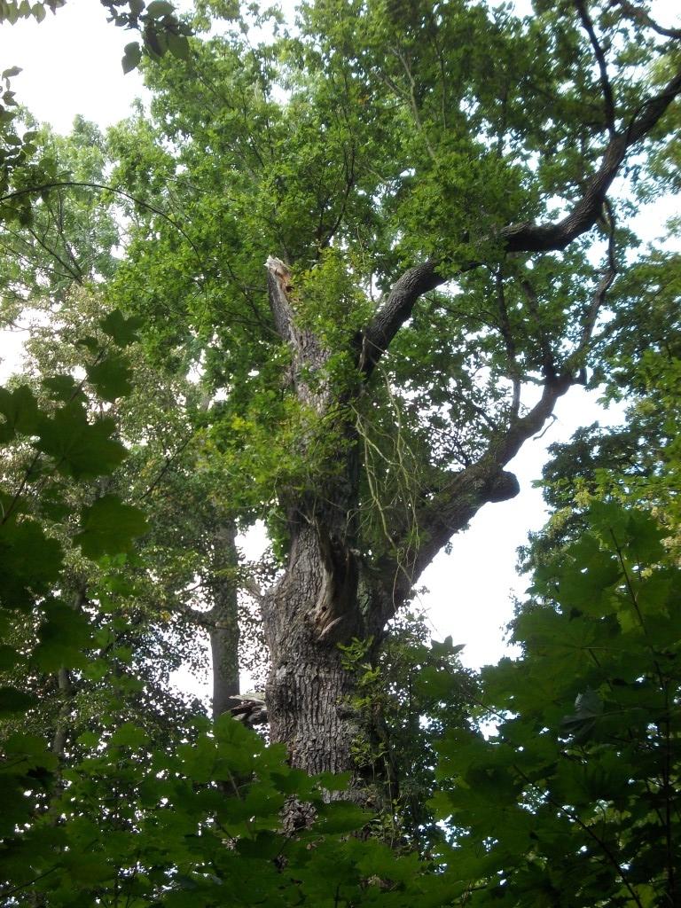 Alte Eichen gehören zu den ökologischen Schätzen des Auwalds.