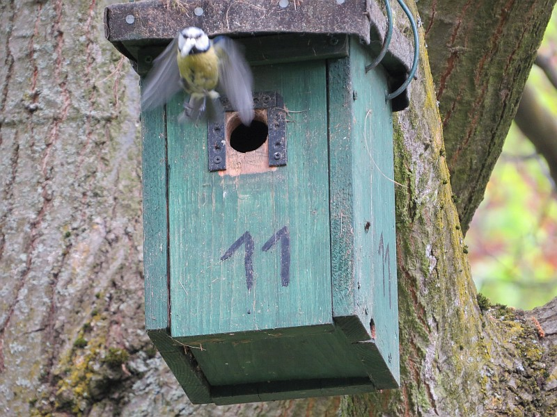Emsig fliegen die Meisen an zahlreichen Nistkäste und Baumhöhlen ein und aus.