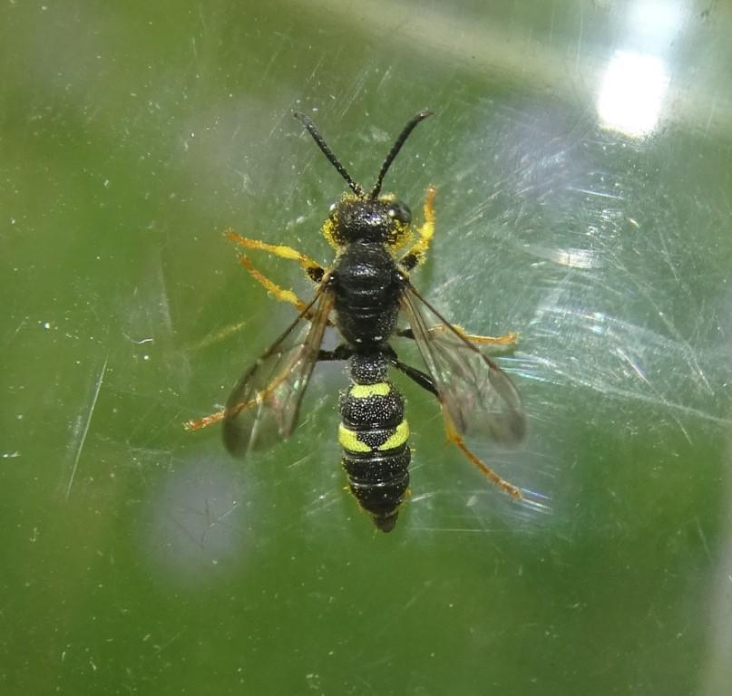 Bienenjagende Knotenwespe
