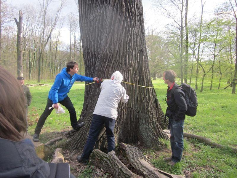 Diese 250 bis 300 Jahre alte Stieleiche bei Lützschena hat einen Durchmesser von 192 cm ...