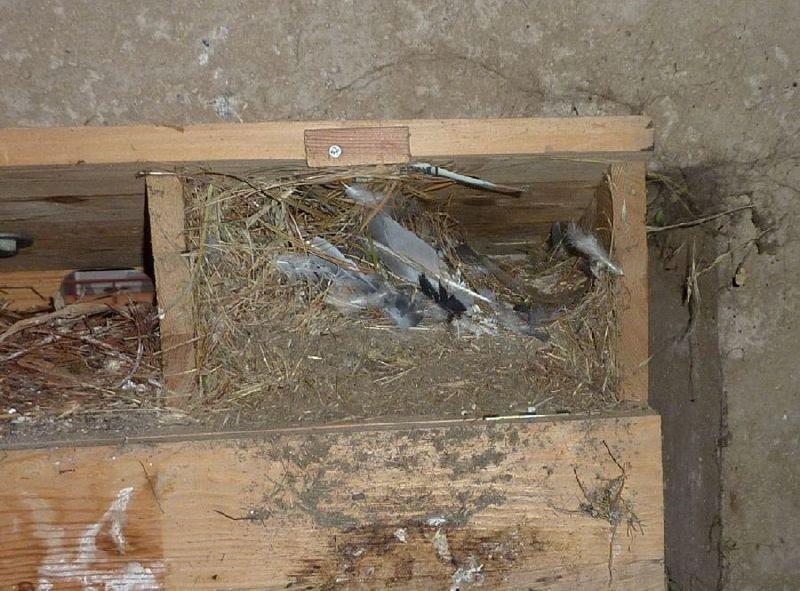 Aus den Mauersegler-Bruthilfen musste altes Nistmaterial entfernt werden, zum Teil auch alte Nester anderer Vogelarten, wie beispielsweise von Haussperlingen.