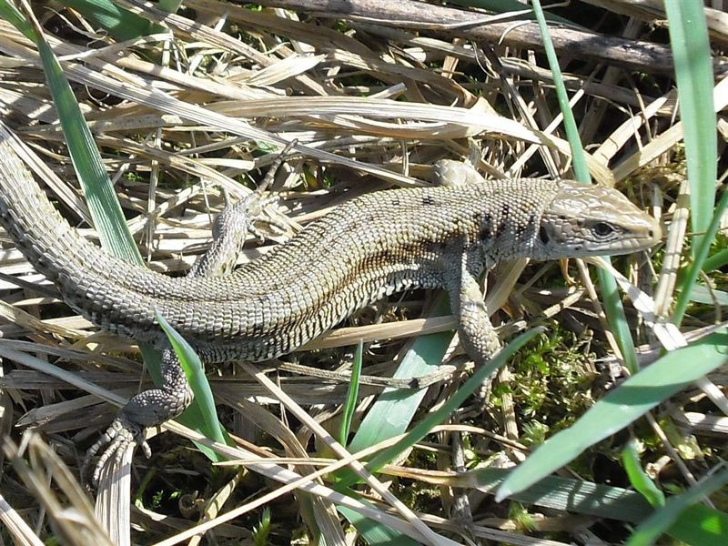 An den Ufern der Papitzer Lachen sind auch Reptilien zuhause, wie die Waldeidechse (<i>Zootoca vivipara</i>).</p>Foto: René Sievert
